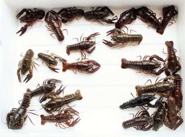 25 Edelkrebse (Astacus ast.) 2-sömmerig, sortiert