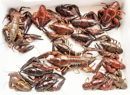 Noble Crayfish - Gourmetware
