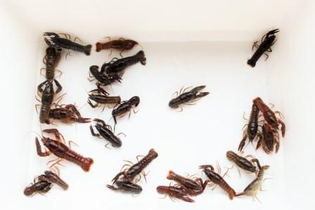 25 Sömmerlinge, überwintert, Edelkrebse (Astacus ast.)