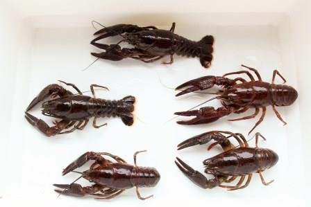 Geschlechtsreife Edelkrebs-Männchen (Astacus astacus)